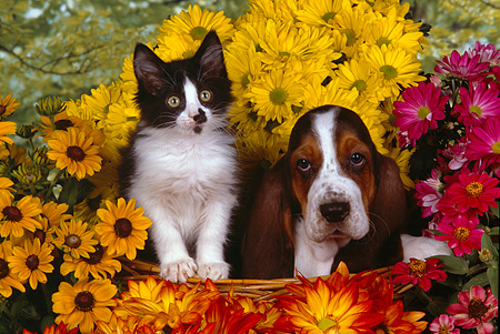 DOK 01 RK0218 07 © Kimball Stock Basset Hound Puppy And Black And White Kitten Surrounded By Flowers