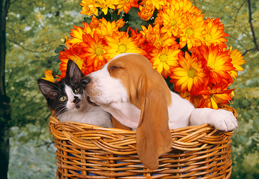 DOK 01 RK0221 04 © Kimball Stock Basset Hound And Kitten In Basket By Flowers Studio