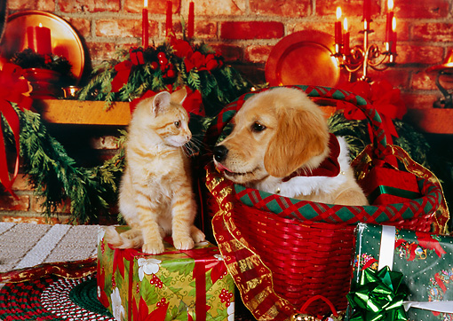 DOK 01 RK0236 01 © Kimball Stock Golden Retriever Puppy In  Basket And Orange Kitten On Christmas Presents