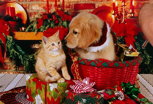 DOK 01 RK0236 05 © Kimball Stock Golden Retriever Puppy In  Basket And Orange Kitten On Christmas Presents