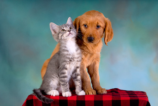 DOK 01 RK0237 01 © Kimball Stock Golden Retriever Puppy And Gray Tabby Kitten On Checkered Cloth