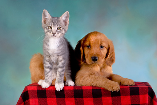 DOK 01 RK0240 01 © Kimball Stock Golden Retriever Puppy And Gray Tabby Kitten On Checkered Cloth