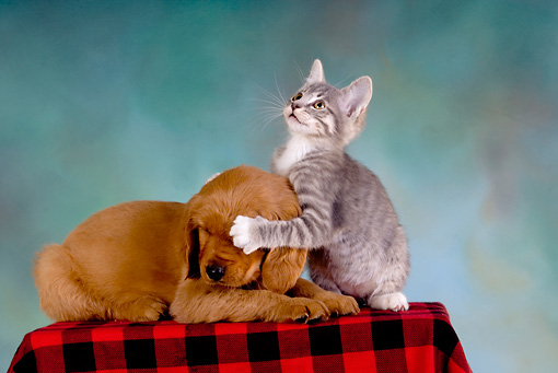 DOK 01 RK0241 01 © Kimball Stock Golden Retriever Puppy And Gray Tabby Kitten On Checkered Cloth