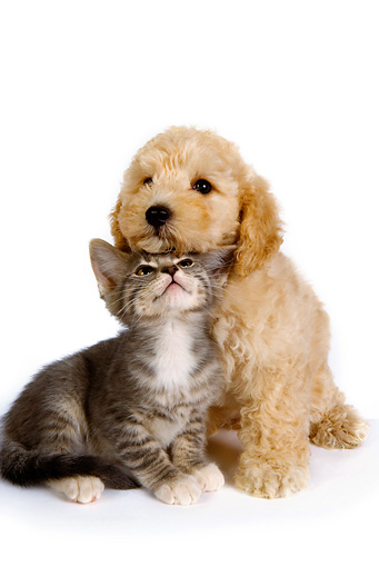 DOK 01 RK0256 01 © Kimball Stock Poodle Puppy And Gray Tabby Kitten Sitting On White Seamless