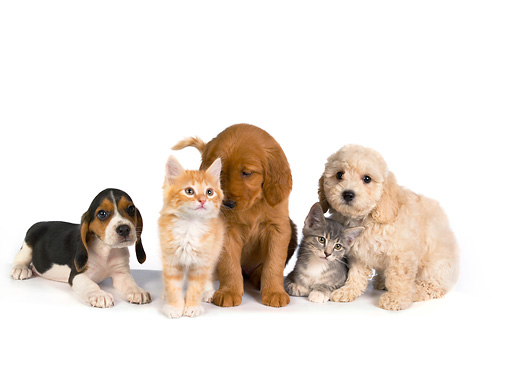 DOK 01 RK0267 01 © Kimball Stock Beagle Golden Retriever And Poodle Puppy With Two Kittens On White Seamless