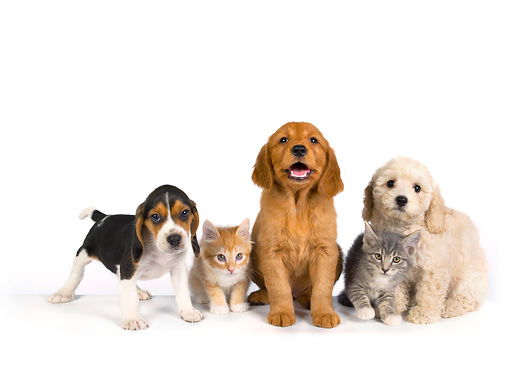 DOK 01 RK0269 01 © Kimball Stock Beagle Golden Retriever And Poodle Puppy With Two Kittens On White Seamless