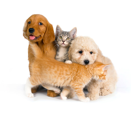 DOK 01 RK0273 01 © Kimball Stock Beagle Golden Retriever And Poodle Puppy With Two Kittens On White Seamless