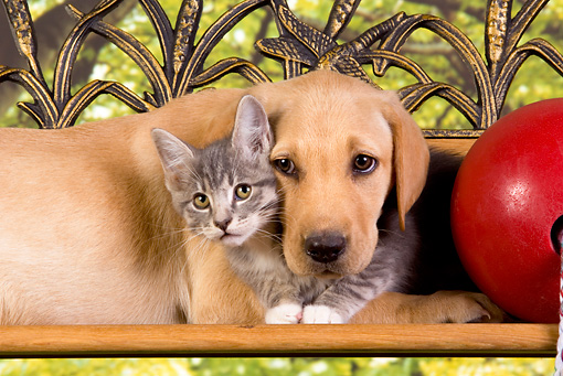 DOK 01 RK0327 01 © Kimball Stock Head Shot Of Yellow Labrador Retriever Puppy And Gray Tabby Kitten On Bench