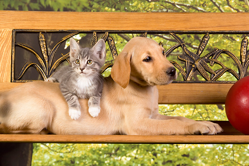 DOK 01 RK0328 01 © Kimball Stock Yellow Labrador Retriever Puppy And Gray Tabby Kitten By Toy On Bench