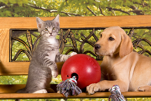 DOK 01 RK0331 01 © Kimball Stock Yellow Labrador Retriever Puppy And Gray Tabby Kitten By Toy On Bench
