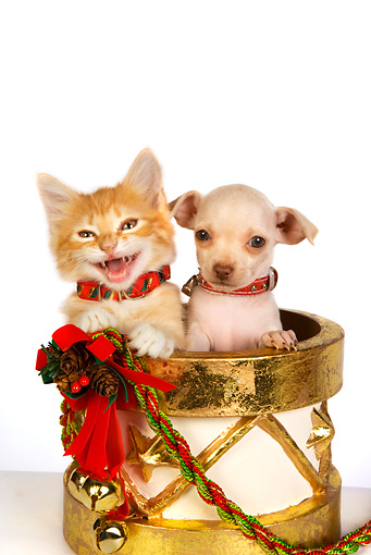 DOK 01 RK0347 01 © Kimball Stock Head Shot Of Chihuahua Puppy Orange Tabby Kitten In Christmas Drum Seamless