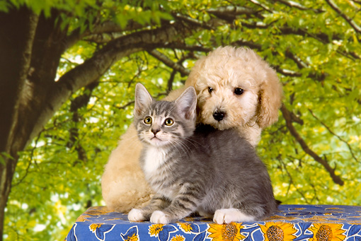 DOK 01 RK0351 01 © Kimball Stock Poodle Puppy And Gray Tabby Kitten Trees Background Studio
