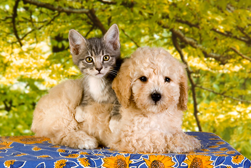 DOK 01 RK0355 01 © Kimball Stock Poodle Puppy And Gray Tabby Kitten Trees Background Studio