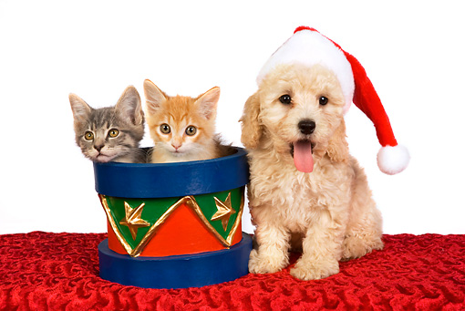 DOK 01 RK0377 01 © Kimball Stock Poodle Puppy Wearing Santa Hat With Two Kittens In Christmas Drum