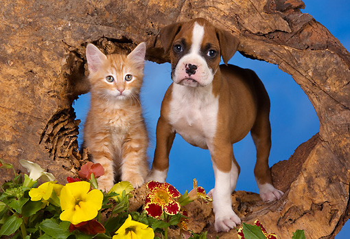 DOK 01 RK0418 01 © Kimball Stock Boxer Puppy And Red Tabby Kitten Tree Trunk Hole By Flowers Studio