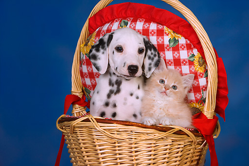 DOK 01 RK0429 01 © Kimball Stock Head Shot Of Dalmatian Puppy And Red Tabby Kitten In Basket Studio