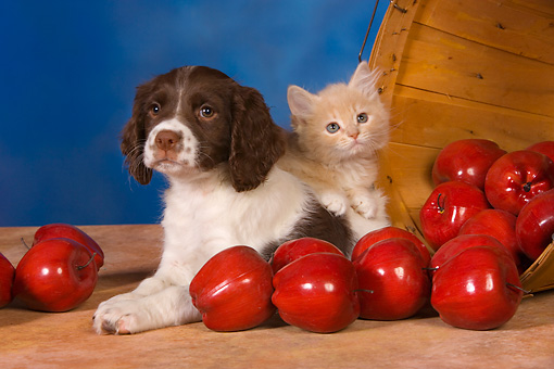 DOK 01 RK0431 01 © Kimball Stock English Springer Spaniel Puppy And Red Tabby Kitten By Basket Of Apples Studio