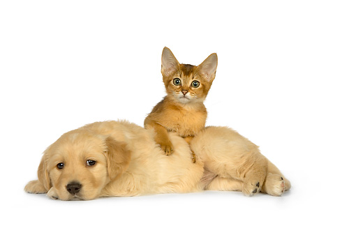 DOK 01 RK0433 01 © Kimball Stock Golden Retriever Puppy And Abyssinian Kitten On White Seamless Studio