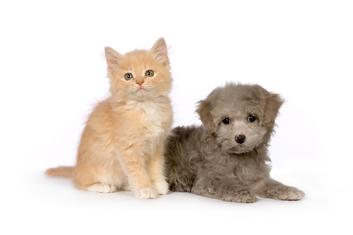 DOK 01 RK0459 01 © Kimball Stock Poodle Puppy And Red Tabby Kitten On White Seamless Studio
