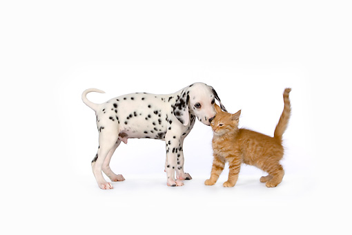 DOK 01 RK0462 01 © Kimball Stock Dalmatian Puppy And Red Tabby Kitten On White Seamless Studio
