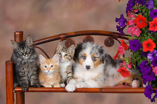 DOK 01 RK0464 01 © Kimball Stock Three Kittens With Australian Shepherd Puppy On Chair By Flowers Studio