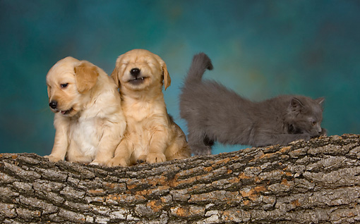 DOK 01 RK0475 01 © Kimball Stock Two Golden Retriever Puppies And Gray Kitten On Log Studio