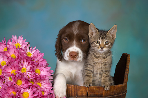 DOK 01 RK0479 01 © Kimball Stock English Springer Spaniel Puppy And Tabby Kitten In Bucket By Flowers Studio