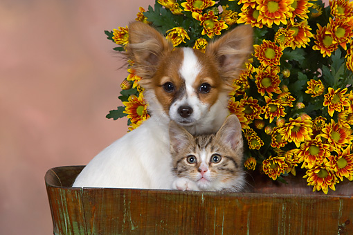 DOK 01 RK0481 01 © Kimball Stock Papillon Puppy And Tabby Kitten In Bucket By Flowers Studio