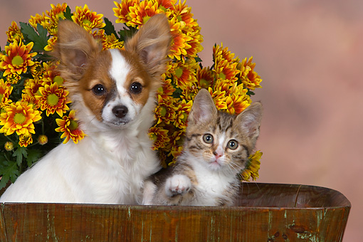 DOK 01 RK0482 01 © Kimball Stock Papillon Puppy And Tabby Kitten In Bucket By Flowers Studio