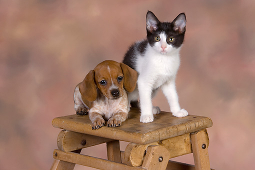 DOK 01 RK0485 01 © Kimball Stock Dachshund Puppy And Black And White Kitten On Table Studio