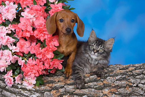 DOK 01 RK0505 01 © Kimball Stock Dachshund Puppy And Maine Coon Kitten On Log By Flowers Studio