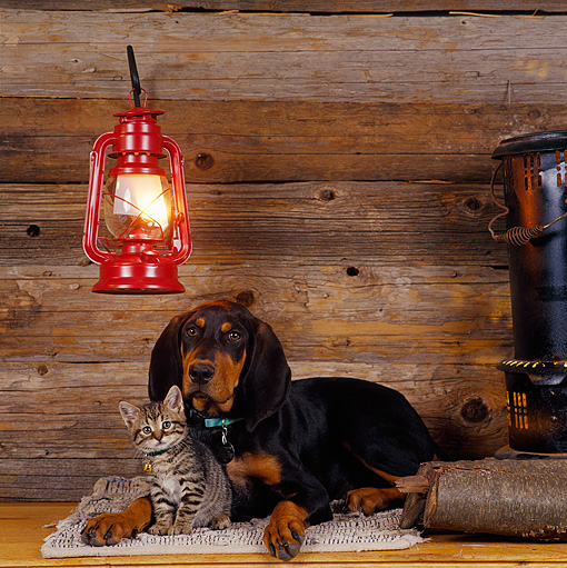 DOK 01 RS0004 01 © Kimball Stock Black And Tan Coonhound Puppy With Gray Kitten In Cabin By Hanging Light
