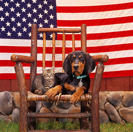 DOK 01 RS0016 03 © Kimball Stock Black And Tan Coonhound With Tabby Kitten On Rocking Chair American Flag Background