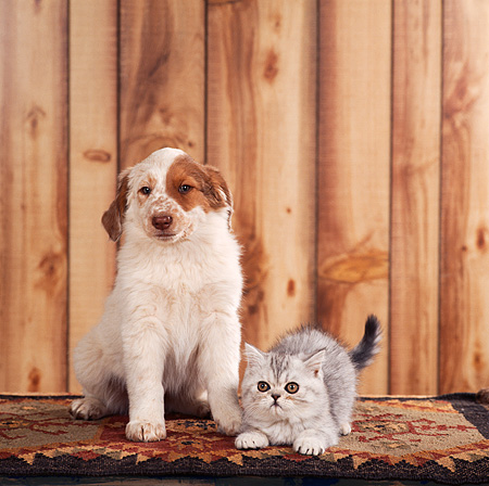 DOK 01 RS0024 01 © Kimball Stock Mixed Breed Puppy With Scottish Fold Kitten On Rug
