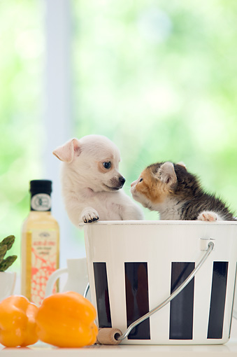 DOK 01 YT0001 01 © Kimball Stock Chihuahua Puppy And American Curl Kitten Standing In Metal Bucket