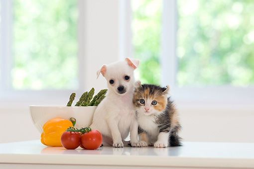 DOK 01 YT0003 01 © Kimball Stock Chihuahua Puppy And American Curl Kitten Sitting On Kitchen Counter