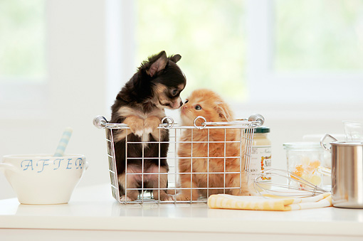 DOK 01 YT0004 01 © Kimball Stock Chihuahua Puppy And Scottish Fold Kitten Sitting In Basket On White Kitchen Counter