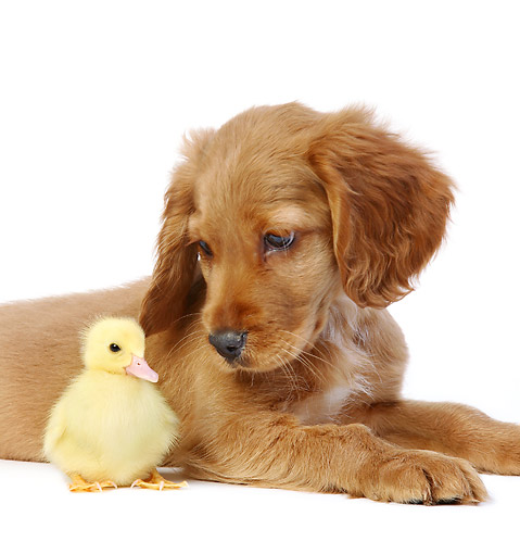DOK 02 XA0003 01 © Kimball Stock Retriever Puppy Sitting With Duckling In Studio
