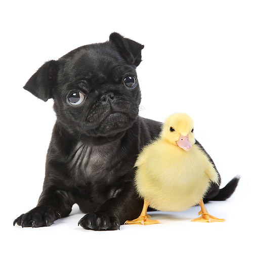 DOK 02 XA0006 01 © Kimball Stock Pug Puppy Sitting With Duckling In Studio