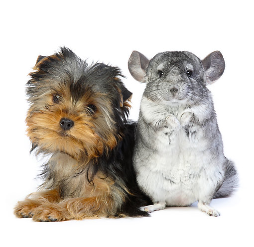 DOK 02 XA0008 01 © Kimball Stock Yorkshire Terrier Puppy Sitting With Chinchilla In Studio