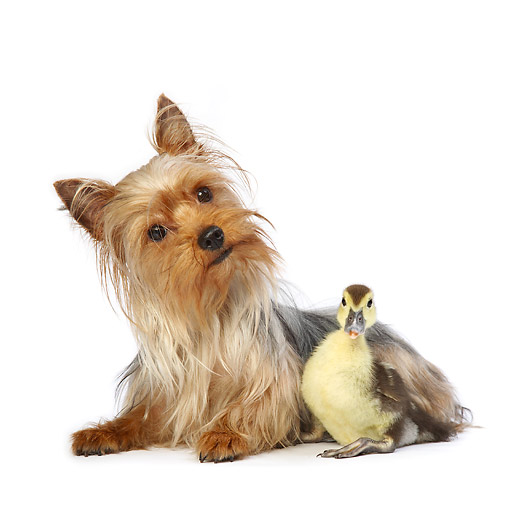 DOK 02 XA0010 01 © Kimball Stock Yorkshire Terrier Puppy Laying With Duckling In Studio