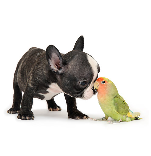 DOK 02 XA0015 01 © Kimball Stock Boston Terrier Puppy Snuggling With Parrot In Studio