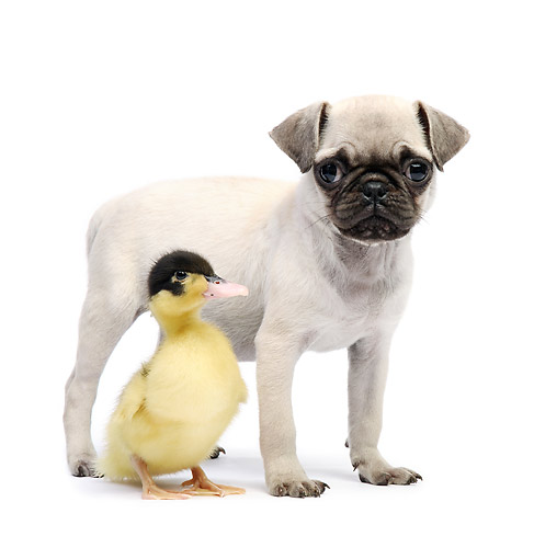 DOK 02 XA0018 01 © Kimball Stock Pug Puppy With Duckling In Studio