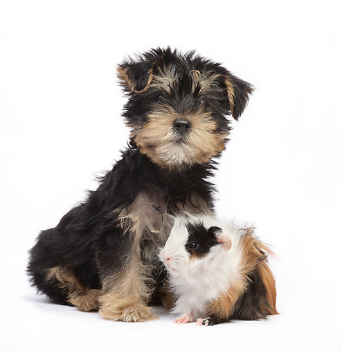 DOK 02 XA0020 01 © Kimball Stock Yorkshire Terrier Puppy Sitting In Studio With Guinea Pig