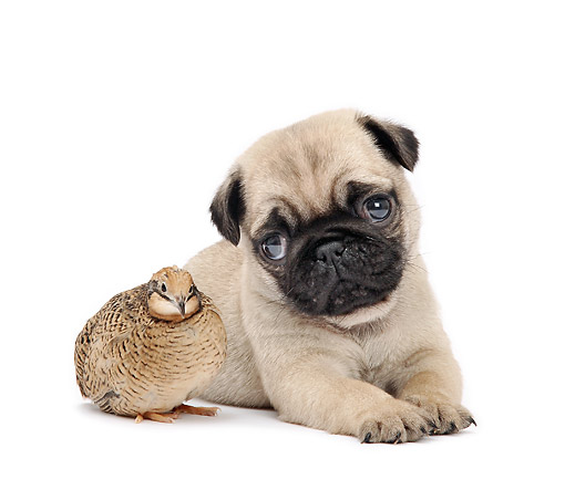 DOK 02 XA0022 01 © Kimball Stock Pug Puppy Laying With Pigeon In Studio