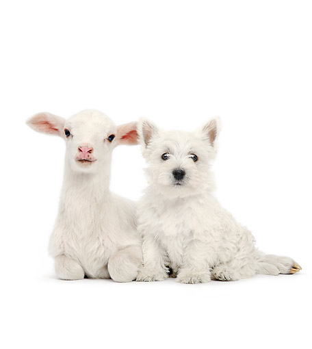DOK 02 XA0024 01 © Kimball Stock West Highland Terrier Sitting With Lamb In Studio