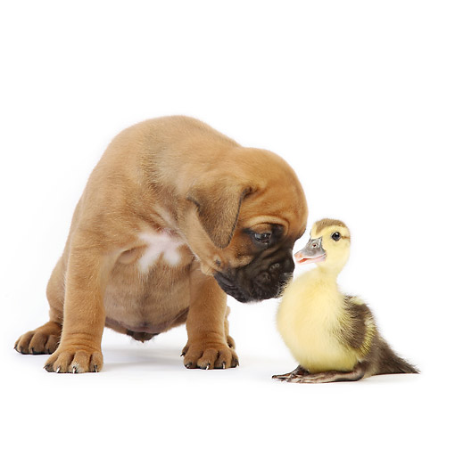 DOK 02 XA0038 01 © Kimball Stock Boxer Puppy Sniffing Duckling In Studio