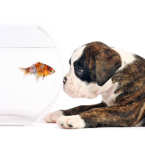 DOK 02 XA0039 01 © Kimball Stock Boxer Puppy Looking At Gold Fish In Bowl