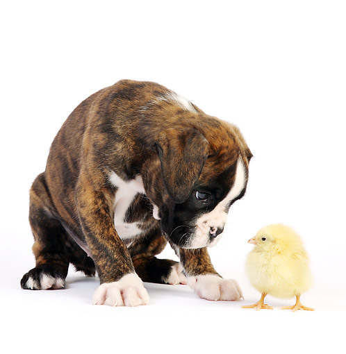 DOK 02 XA0040 01 © Kimball Stock Boxer Puppy Looking At Baby Chick In Studio