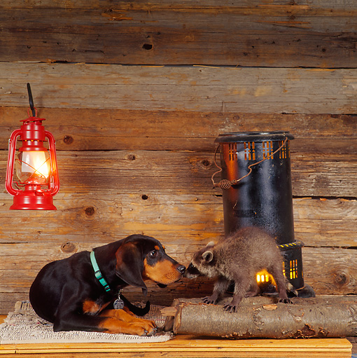 DOK 02 RS0006 02 © Kimball Stock Black And Tan Coonhound Puppy With Raccoon In Cabin